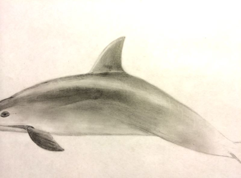How to draw a Vaquita (5/6)