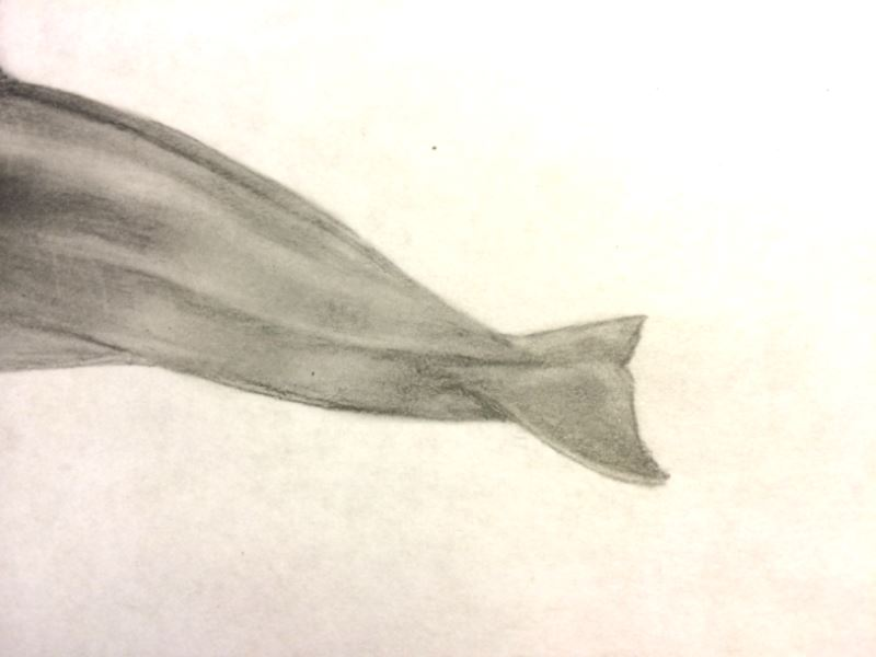 How to draw a Vaquita (6/6)